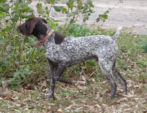 German Shorthaired Pointer Liver Ticked | www.pixshark.com ...