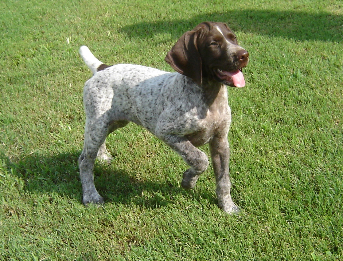 German Shorthaired Pointer Puppies Liver | www.pixshark ...